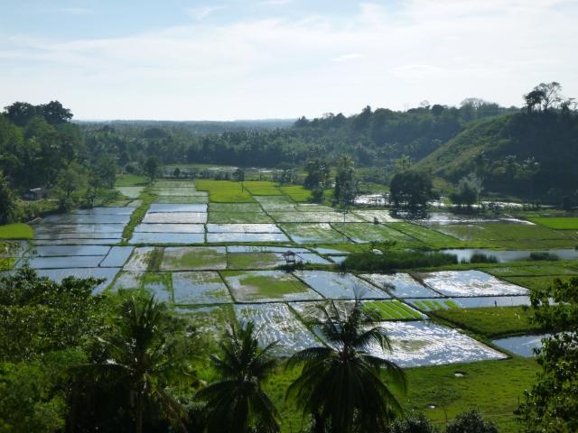 rizières sur la route de Siaton